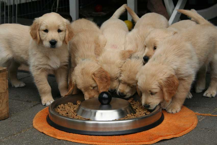Golden Retriever Puppies for Sale – Buyer Guide That Can Help You Find Them